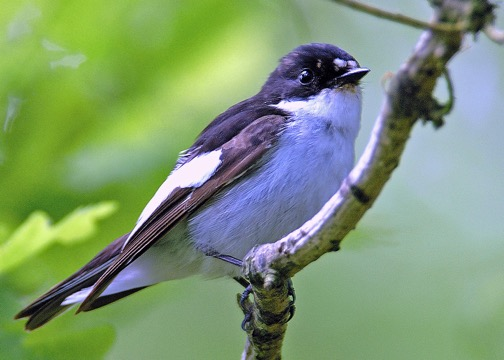 Bird_Pied_Flycatcher.jpeg