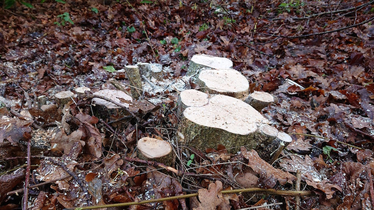 Coppiced_Stump2.JPG