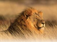 land-lion-large-jpeg_1583271676
