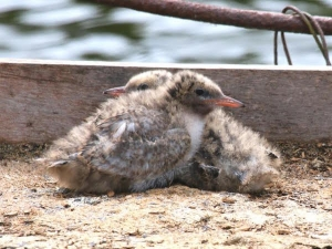 Common tern chicks on the 2016 platform (photograph Trevor 'Tabs' Taberham)