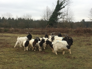 North Norfolk's famous Bagot goats head south for their latest job