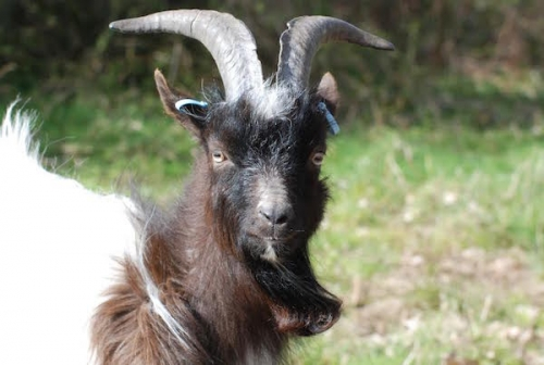 Popular Bagot goats arrive back in Cromer